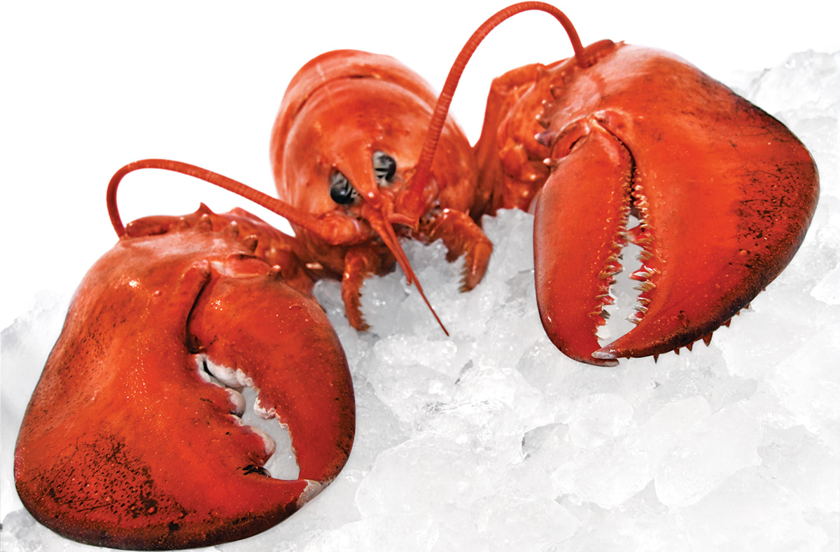 Caught Red-Handed: Contrary to popular belief, lobsters do not mate for life. Photograph by IStockPhoto.