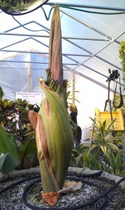 morticia new england zoo corpse flower