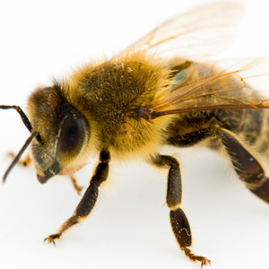 honeybees-boston-sq
