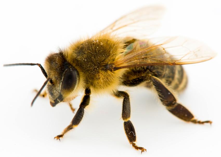 honeybees-boston