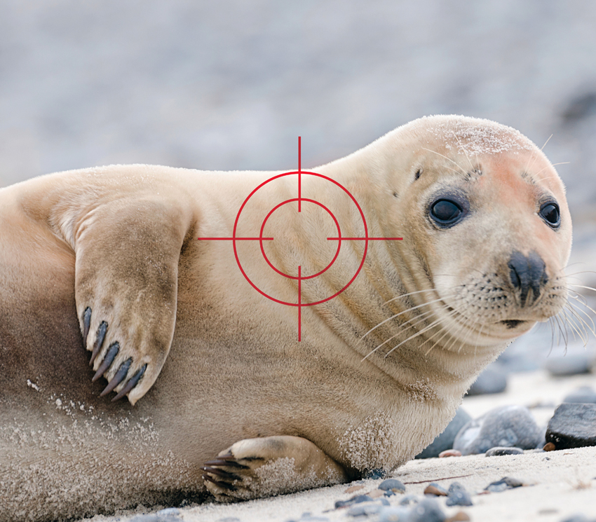gray seal population problem cape cod