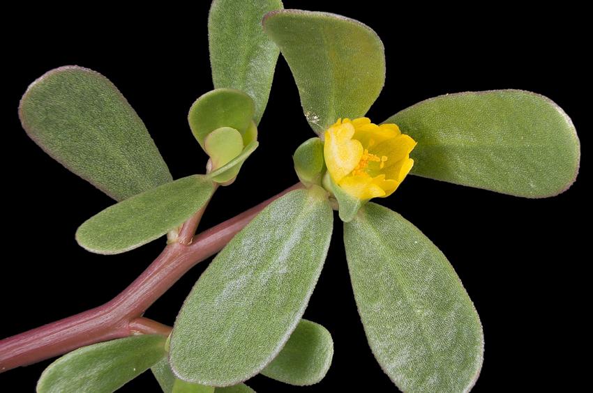 edible-wild-plants-boston-5