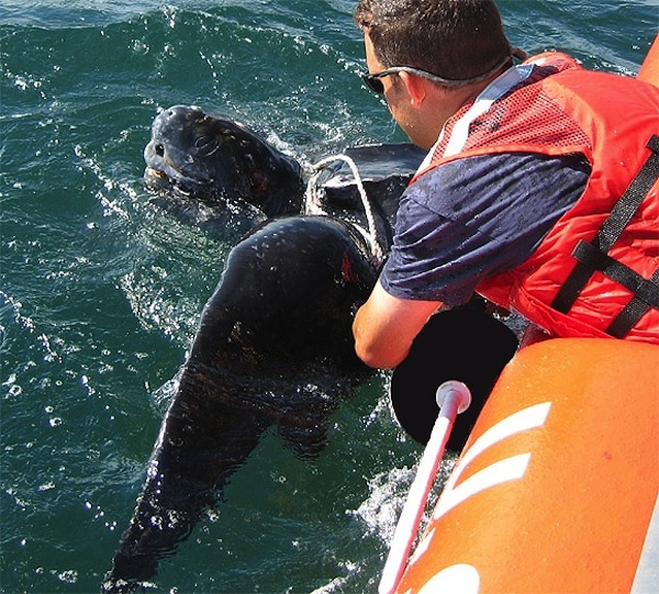 Brian Sharp, Provincetown Center for Coastal Studies, NOAA Fisheries Disentanglement Network Member, disentangling an endangered Leatherback sea turtle.  Photo vias PCCS