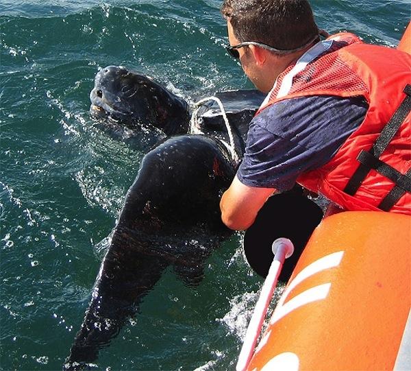 Brian Sharp, Provincetown Center for Coastal Studies, NOAA Fisheries Disentanglement Network Member, disentangling an endangered Leatherback sea turtle.  Photo vias PCCS