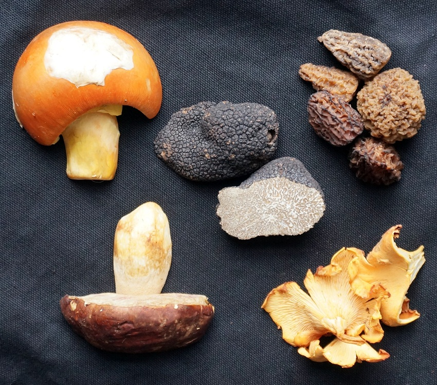 Collection of Mushrooms_DSC00596
