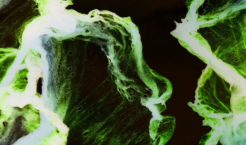 A component made from algae cells, like these, could revolutionize pain management. Image via Shutterstock.