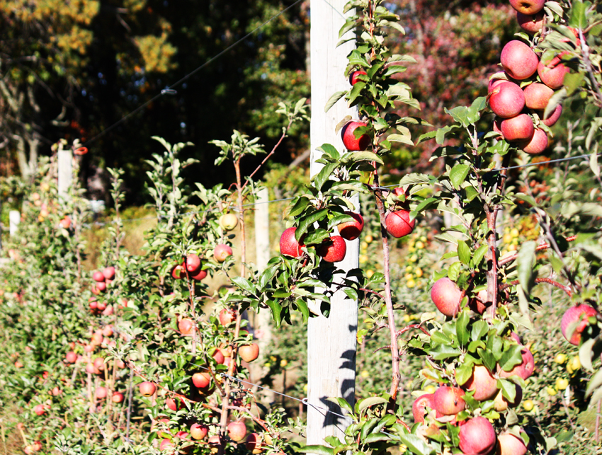 apple-picking farm orchard boston