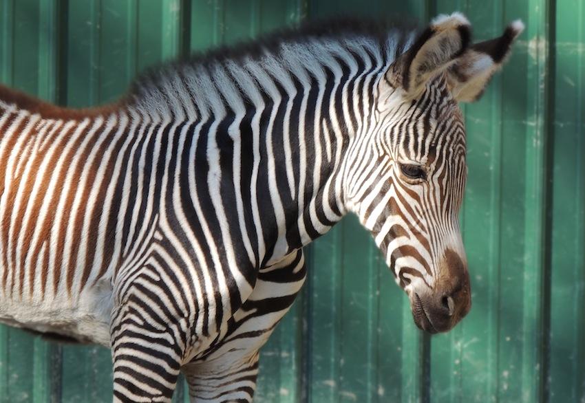 grevys zebra foal 2, Sarah Woodruff