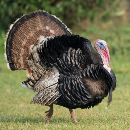 thanksgiving-turkey-sq