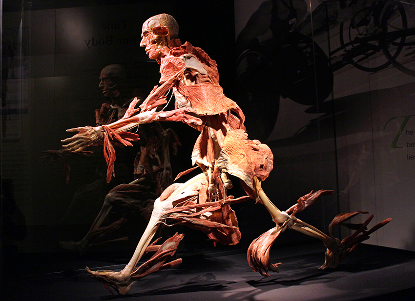 photos: body worlds vital opens at faneuil hall marketplace in boston, Muscles
