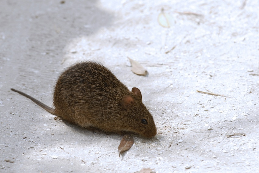 Rat Photo via Shutterstock.com