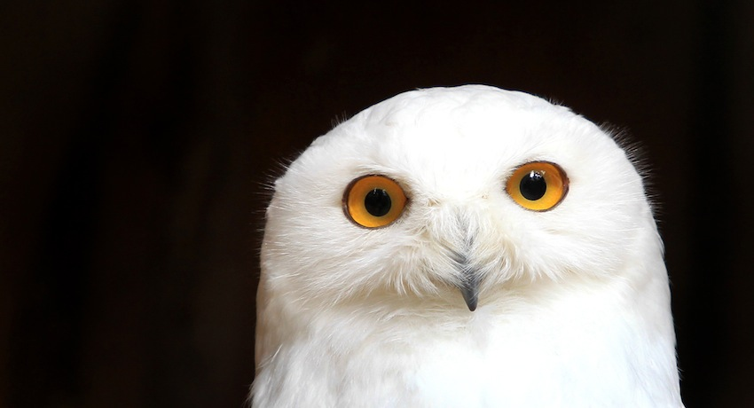 Snowy Owl Photo By Associated Press