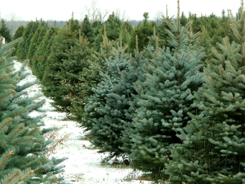 Christmas Tree Lots Near Me