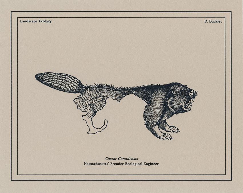 david buckley borden beaver ecological engineer