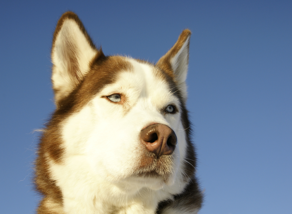 The Boston Snow Dogs and the XXX / Siberian Husky photo via Shutterstock