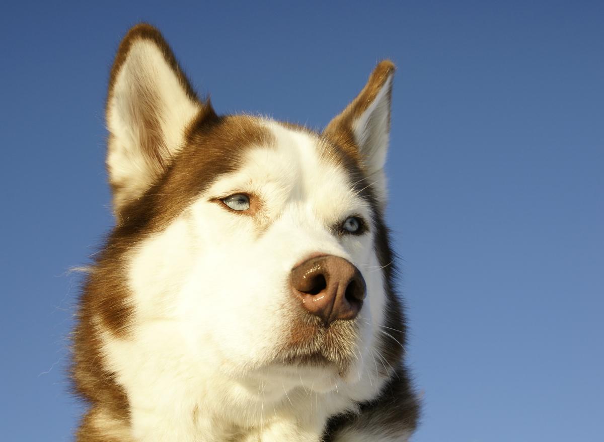 The Boston Snow Dogs and the XXX / Siberian Husky photo via Shutterstock