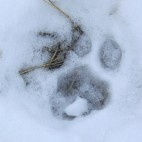 Mountain Lion Paw
