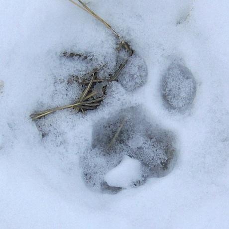 Mountain Lion Paw