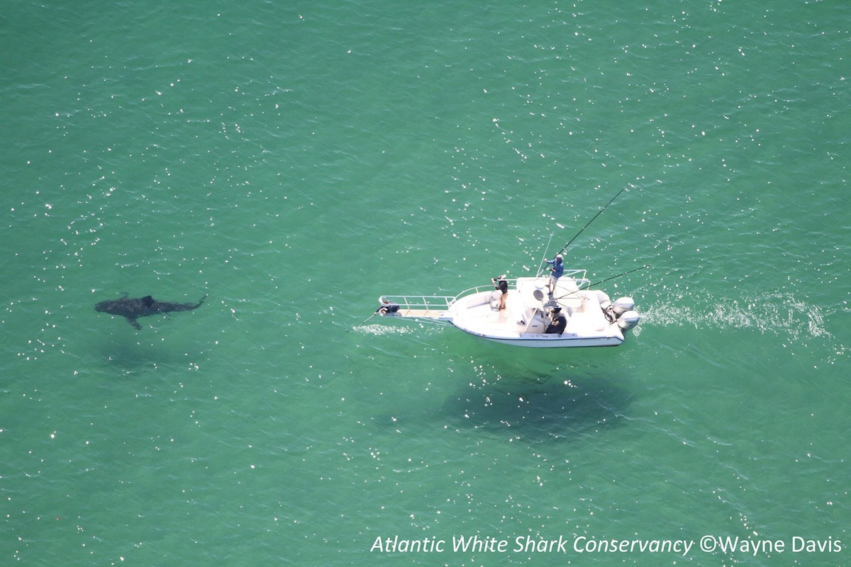 study confirms there are a ton of sharks off cape cod
