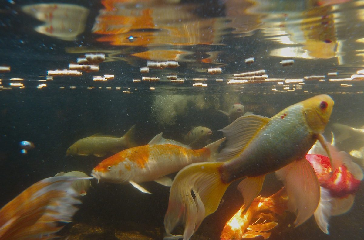 backyard koi ponds and water gardens are a growing trend
