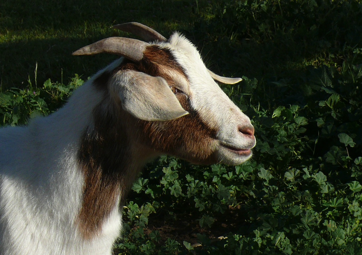 Goat photo uploaded by Linda Tanner on Flickr