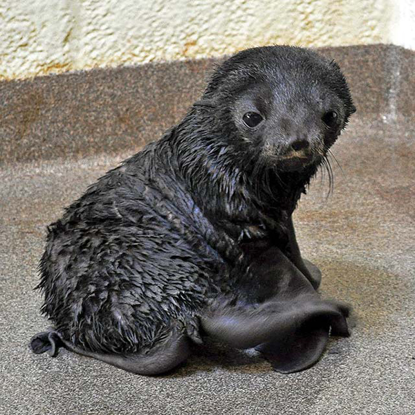 neaq kitovi baby fur seal
