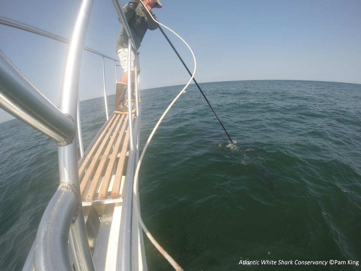 Image Courtesy of the Atlantic White Shark Conservancy