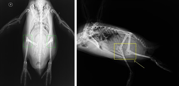 neaq penguins have knees