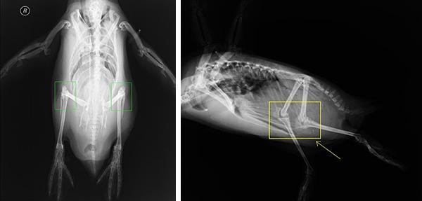 neaq penguins have knees