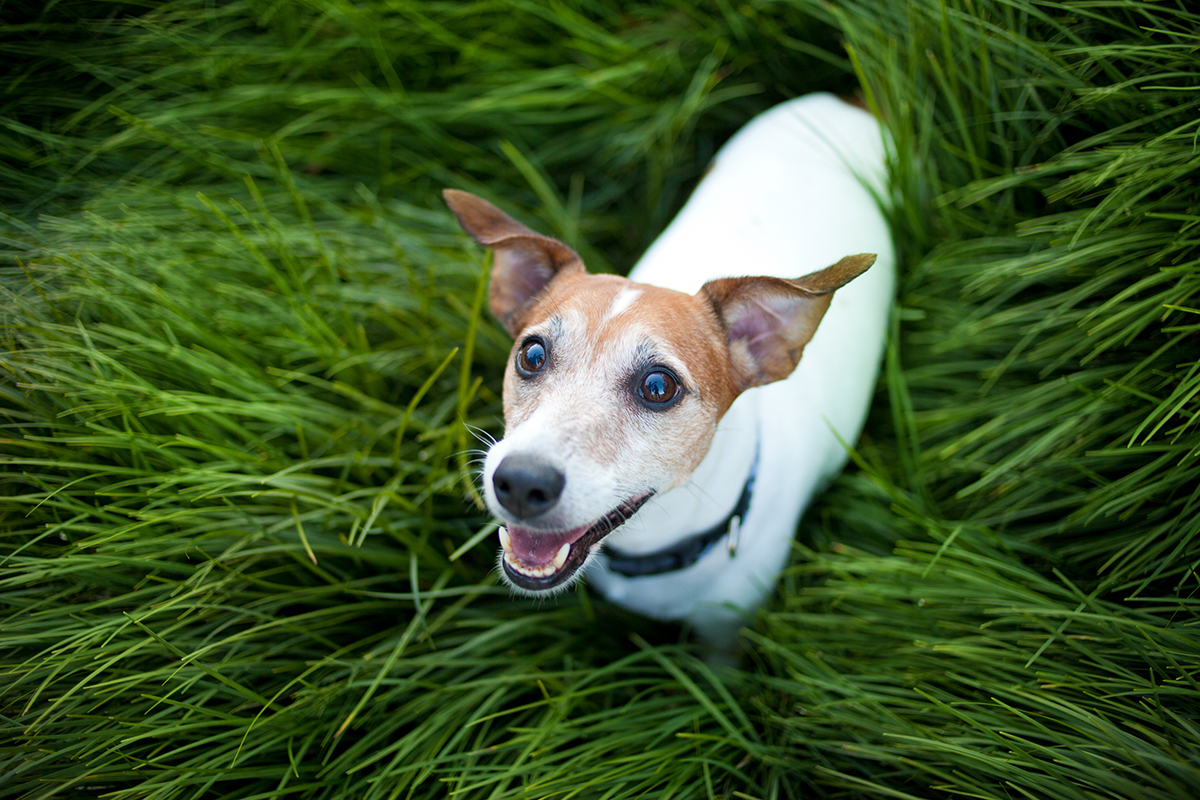 Just look at those pearly whites. Smiling dog photo via shutterstock.