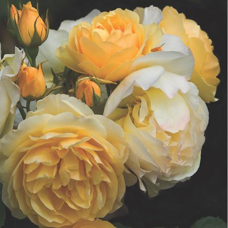 460 yellow rose