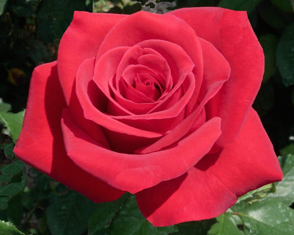 Veterans Honor hybrid Tea rose/photo by Rafiq Bolar/Courtesy of the American Rose Society