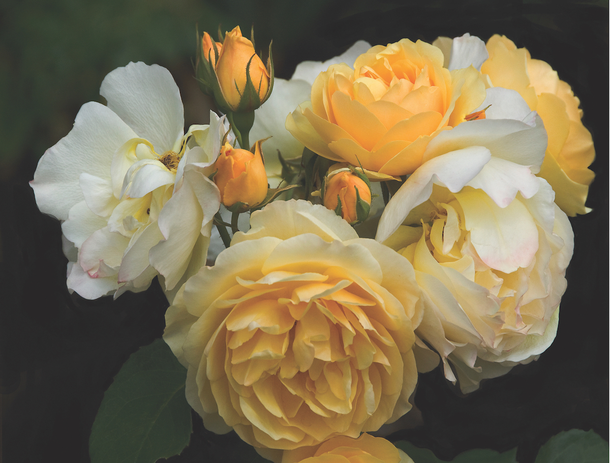Golden Celebration garden rose/photo by Jan Hedman/courtesy of American Rose Society