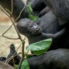 baby gorilla sq