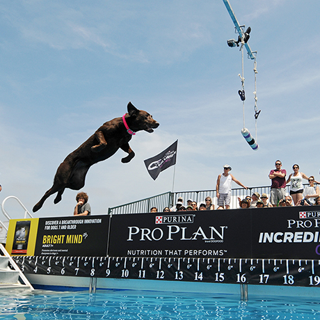 IMAGE DISTRIBUTED FOR PURINA PRO PLAN - Brooklyn, a Labrador Retriever from Glendora, Calif., took first place in the Fetch It! event of the Purina Pro Plan Incredible Dog Challenge at Huntington Beach State Park in Huntington Beach, Calif., on Saturday, May 30, 2015.   (Carlos Delgado/ AP Images for Purina Pro Plan)