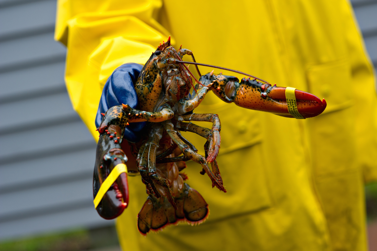 A freshly caught Maine lobster is held up by a fisherman wearing a yellow coat and blue protective gloves via Shutterstock