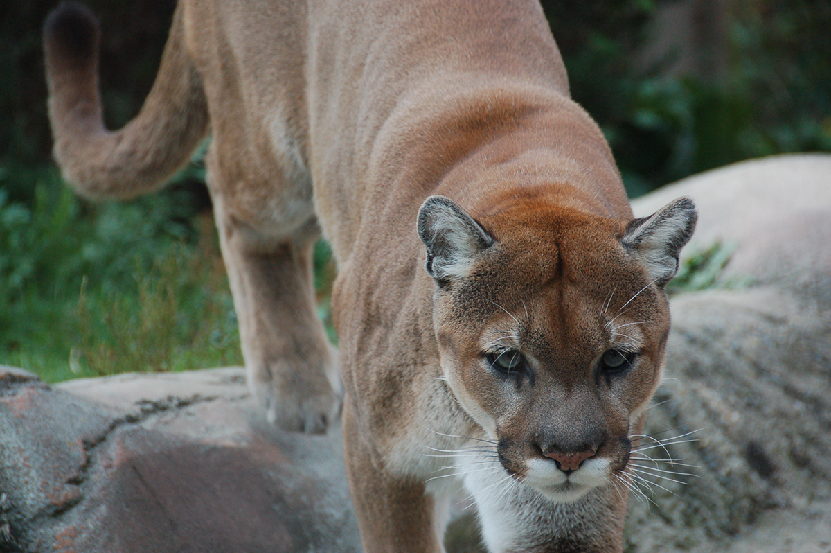 Cougar at Stone Zoo by Chris Devers via Flickr