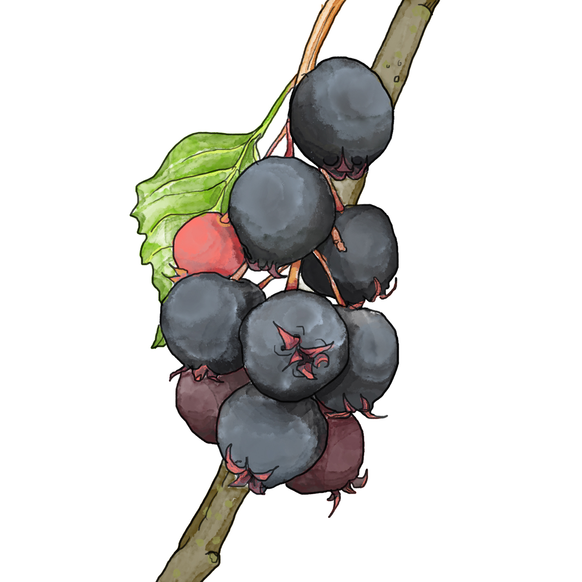 Juneberries Illustration by Ellaphant in the Room