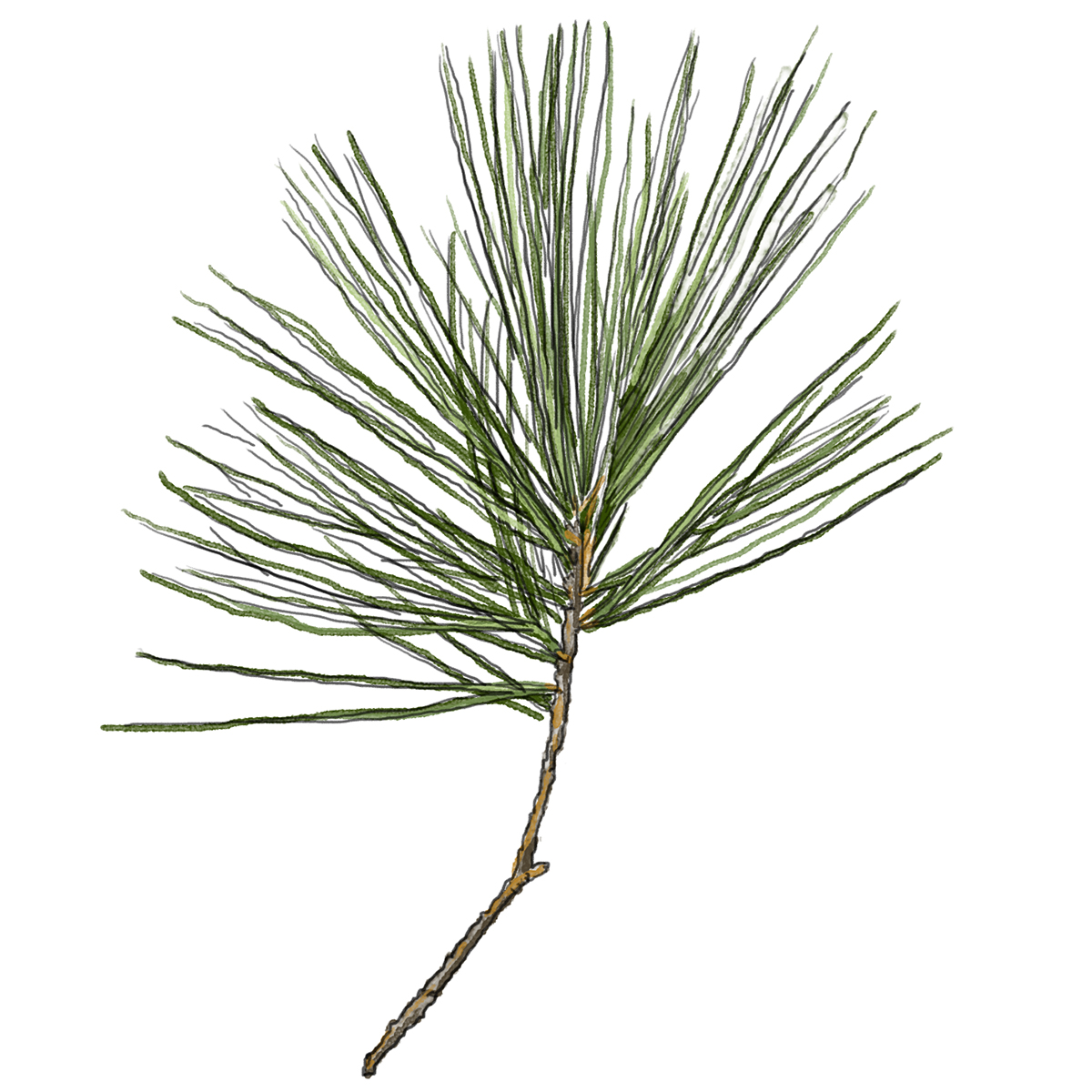 White Pine Needles Illustration by Ellaphant in the Room