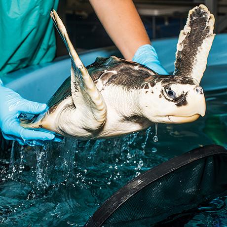 sea-turtles-rescue-new-england-aquarium-sq