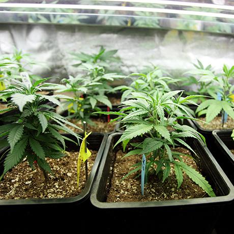 Marijuana Crop Growing indoors square