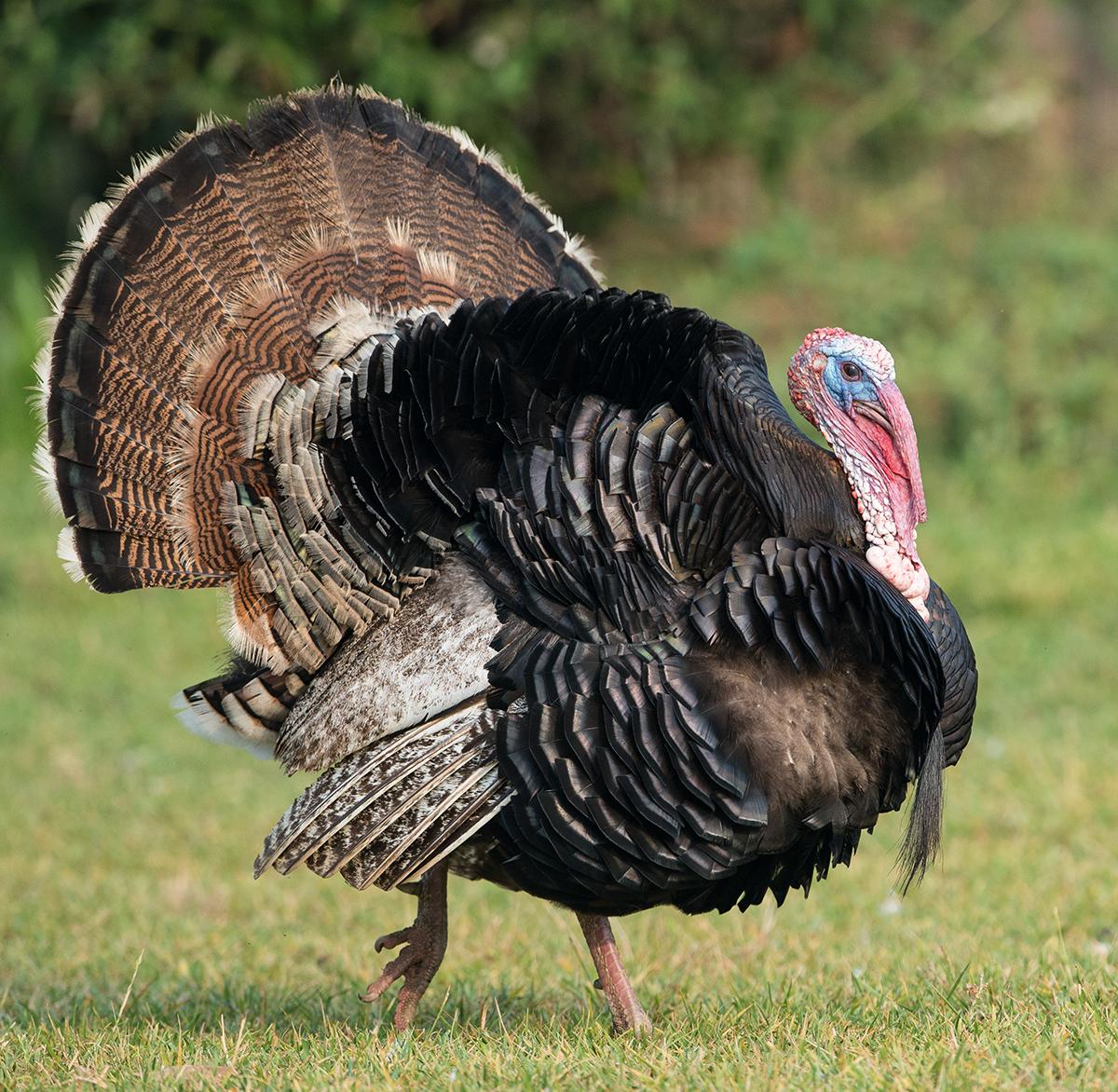 why are wild turkeys so aggressive