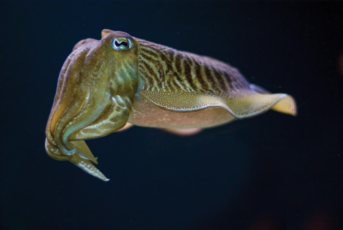 A cuttlefish swims.