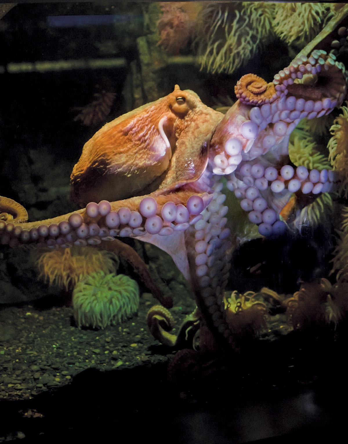 An octopus swims.