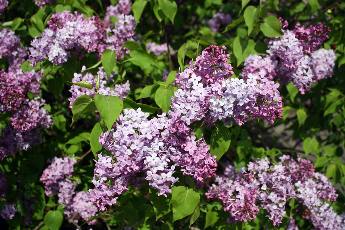 lilac sunday arnold arboretum 1