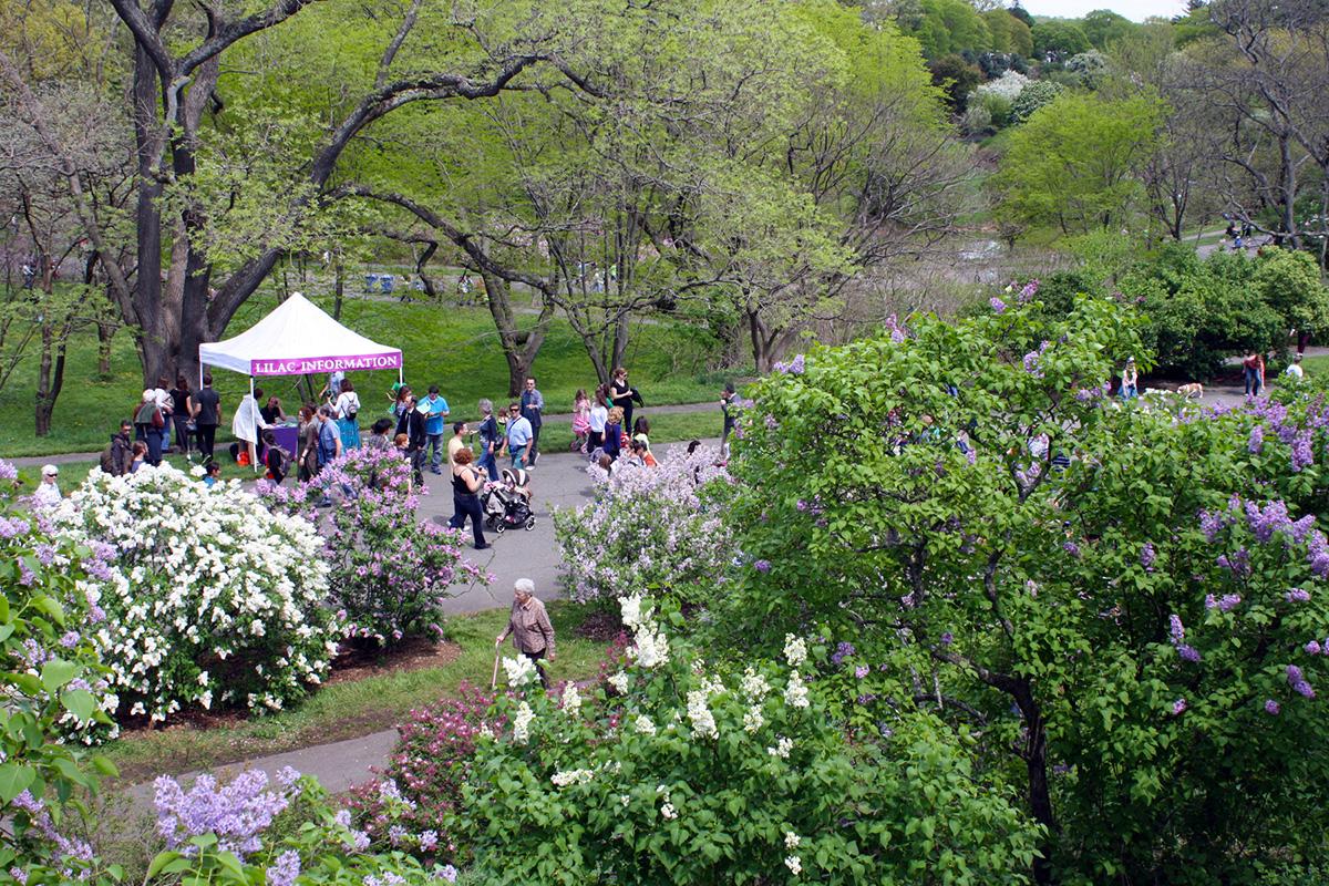lilac sunday arnold arboretum 2
