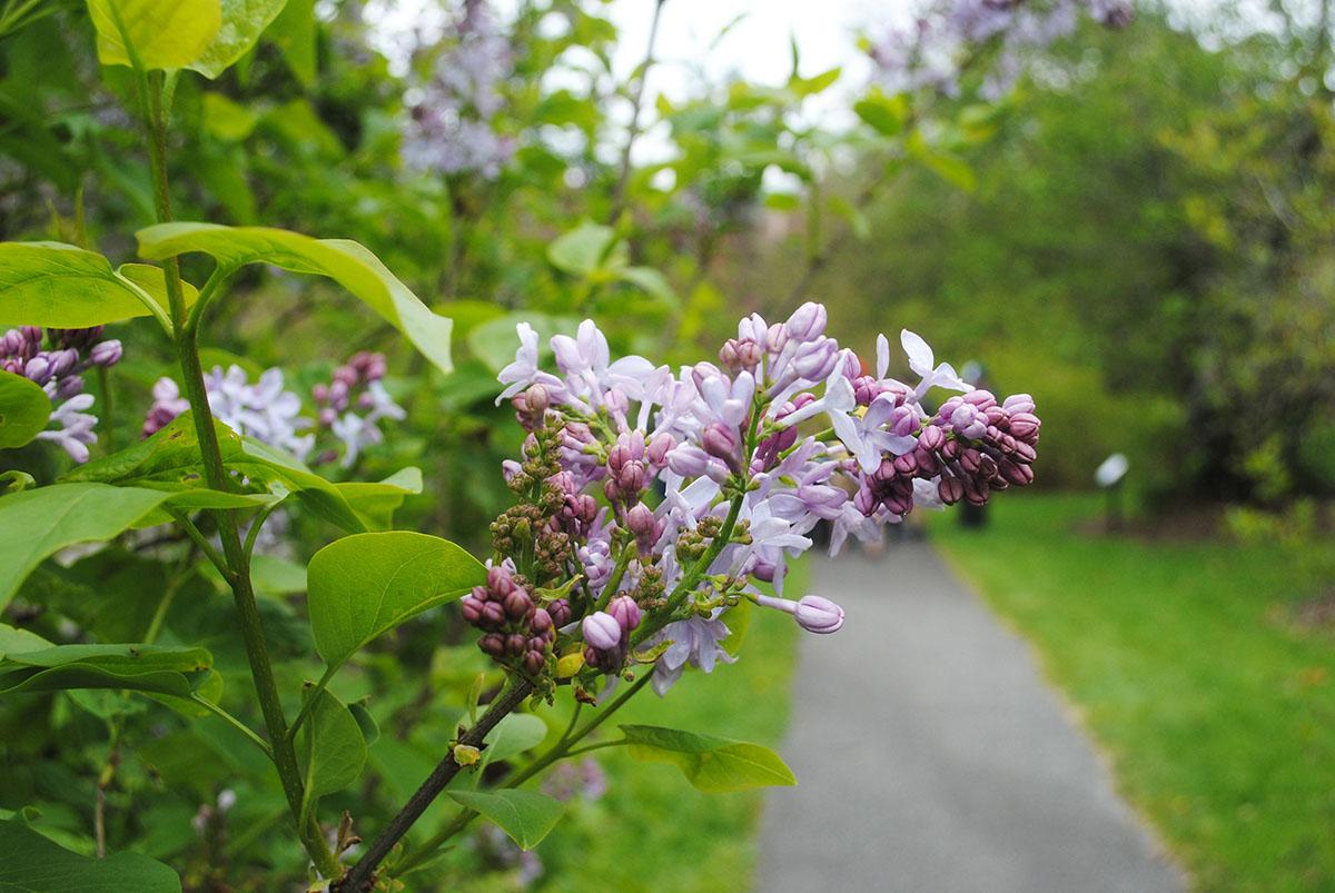 lilac sunday arnold arboretum 2016