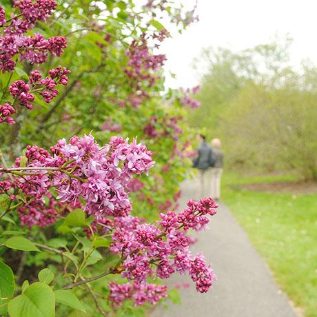 lilac sunday arnold arboretum 2016 sq