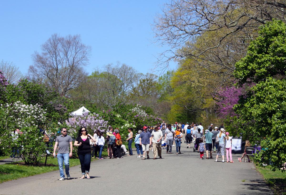 lilac sunday arnold arboretum 4