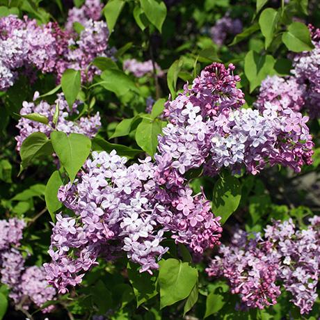 lilac sunday arnold arboretum sq